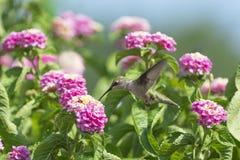 colibri Rubis-throated alimentant sur des fleurs de Lantana images libres de droits
