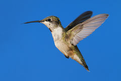 colibri Rubis-throated (colubris d'archilochus) Image stock