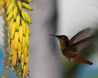 colibri Rubis-throated (colubris d'archilochus) Photos stock