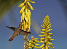colibri Rubis-throated (colubris d'archilochus) Photo stock