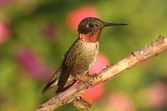 colibri Rubis-throated (colubris d'archilochus) Photos libres de droits