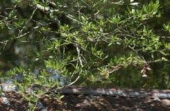 Colibri Rubis-Throated déménageant autour des feuilles d'arbre photographie stock