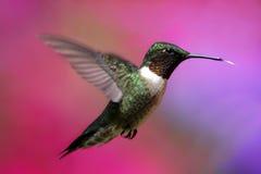 colibri Rubis-throated en vol Photo libre de droits