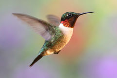 colibri Rubis-throated en vol Image libre de droits