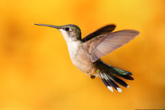 colibri Rubis-throated en vol Images stock