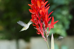 Colibri Rubis-throated femelle Photo libre de droits