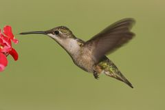 Colibri Rubis-throated femelle (colubris d'Archilochus) Image libre de droits