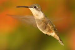 Colibri Rubis-throated femelle (colubris d'Archilochus) Photo libre de droits