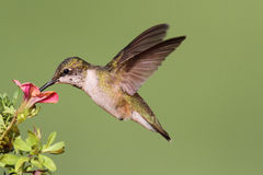 Colibri Rubis-throated juvénile Photographie stock