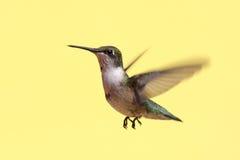 Colibri Rubis-throated juvénile Photographie stock libre de droits
