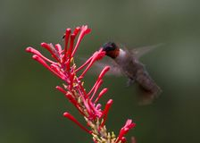 Colibri Rubis-throated mâle Photo stock