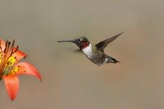 colibri Rubis-throated planant à côté d'un lis en bois image libre de droits