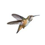Colibri Rufous fotografia de stock royalty free