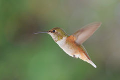 Colibri Rufous foto de stock royalty free