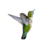 Colibri Rufous Photo stock