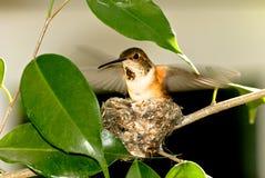 Colibri Rufous Photo stock