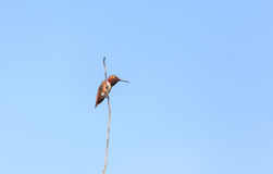 Colibri Rufous fotografia de stock