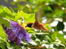 Colibri Rufous Images libres de droits