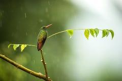 colibri Rufous-coupé la queue se reposant sur la branche sous la pluie, colibri de forêt tropicale tropicale, Colombie, oiseau ét photographie stock libre de droits