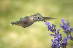 Colibri rufous de Fermale à une fleur photos stock