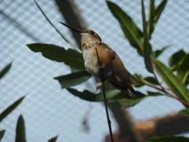 Colibri Rufous imagens de stock