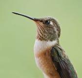 Colibri Rufous femelle   Photo libre de droits