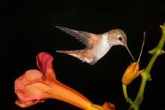 Colibri Rufous que bebe da videira de trombeta fotografia de stock