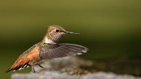 Colibri Rufous que vadeia Fotos de Stock