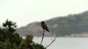 Colibri se reposant sur la branche nue regardant autour banque de vidéos