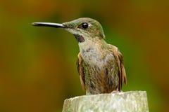 Colibri se reposant sur le tronc d'arbre Portrait de détail de colibri Faon-breasted brillant, rubinoides de Heliodoxa, d'Equateu images libres de droits