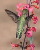 Colibri suivi grand Photos stock