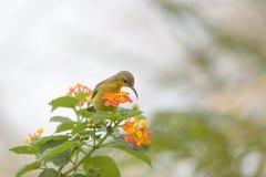 colibri, sunbird Azeitona-suportado na flor imagem de stock
