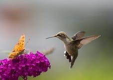 Colibri sur des fleurs photographie stock libre de droits