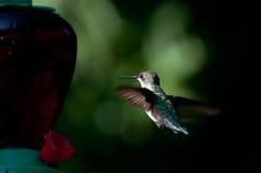 Colibri Throated do rubi   Foto de Stock Royalty Free