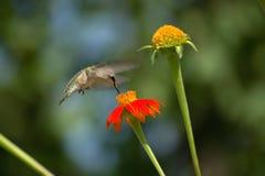 Colibri Throated do rubi foto de stock