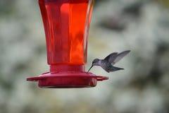 Colibri throated do rubi fêmea Imagens de Stock