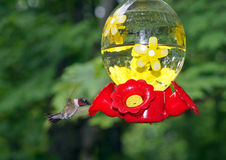 Colibri throated rouge Photo stock