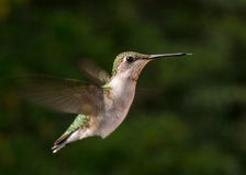 Colibri throated rouge Image stock