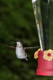 Colibri throated rouge Photographie stock libre de droits