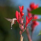Colibri Throated rouge photo libre de droits