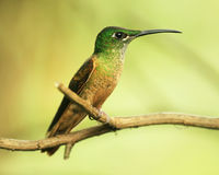 Colibri on a twig. Colibri (Fawn-breasted Brilliant) on a twig stock photography