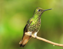 Colibri on a twig. (Mindo region stock images