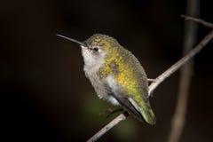Colibri verde no ramo Imagem de Stock