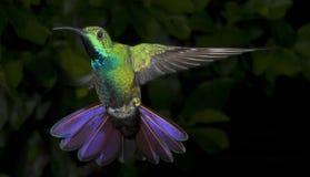 Colibri Vert-Breasted mâle de mangue Images stock