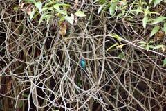Colibri violetear de scintillement dans un embrouillement des branches photos stock