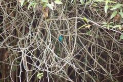 Colibri violetear de scintillement dans un embrouillement des branches image libre de droits