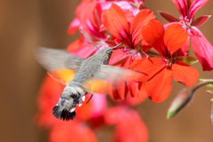 Colibrimot die terwijl het vliegen voeden Royalty-vrije Stock Afbeeldingen