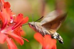 Colibrimot die terwijl het vliegen voeden Royalty-vrije Stock Afbeelding