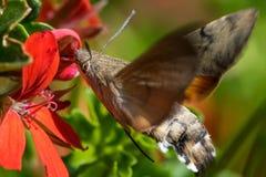 Colibrimot die terwijl het vliegen voeden Stock Afbeelding