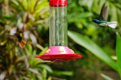 Colibris de Ruby Topaz e de Jacobin, Tobago Foto de Stock Royalty Free